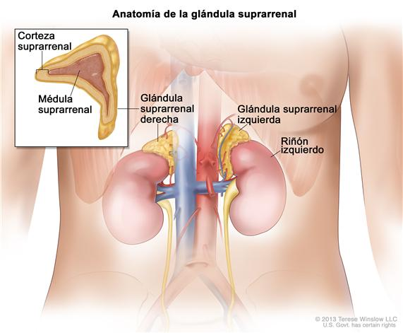 Glandula-suprarrenal